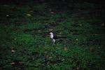 Northern Crested Caracara (Caracara cheriway)