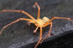 Orange spider [colombia_1243]