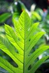 Papaveraceae (possibly Bocconia )