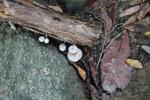 White fungi [colombia_1369]