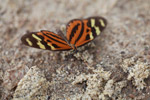 Tiger Longwing Butterfly (Heliconius hecale) [colombia_1396]