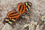 Tiger Longwing Butterfly (Heliconius hecale)