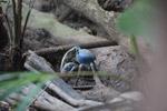 Blue Land Crab (Cardisoma guanhumi) [colombia_1453]