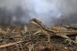 Common Basilisk (Basiliscus basiliscus) [colombia_1510]