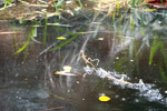 Common Basilisk (Basiliscus basiliscus) running on water