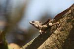 Male Basilisk lizard (Basiliscus basiliscus)