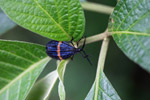Blue and orange net-winged beetle (Lycidae)