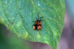 Black and orange insects mating