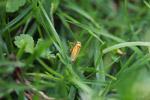 Orange planthopper [colombia_1638]