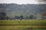 Cattle pasture near Acandi [colombia_1849]