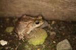 Rhinella granulosa toad [colombia_1863]