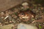 Rhinella granulosa or R. marina toad [colombia_1864]