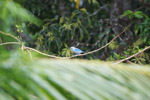 Blue-grey Tanager (Thraupis episcopus) [colombia_1963]
