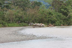 Cowboys herding cattle across a river [colombia_2021]