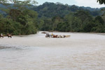 Cowboys herding cattle across a river [colombia_2060]