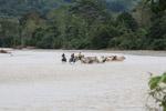 Cowboys herding cattle across a river