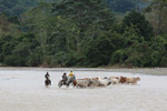 Cowboys herding cattle across a river [colombia_2079]