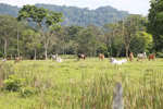 Cattle grazing near Peñaloza [colombia_2095]