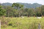 Cattle grazing near Peñaloza [colombia_2098]
