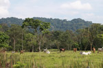 Cattle grazing on former rainforest near Peñaloza