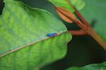 Stunning blue planthopper