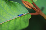 Gorgeous blue planthopper
