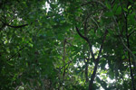 Darien rainforest canopy as seen from the forest floor