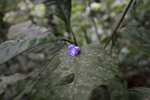 Fallen purple flower from a woody vine or liana of the Bignoniaceae - trumpet creeper family - in the Choco rainforest
