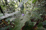 Fallen purple flower from a woody vine or liana of the Bignoniaceae - trumpet creeper family - in the Choco rainforest [colombia_2166]