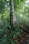 Tree in the Choco rainforest