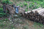 Mule and timber cut from the Darien rainforest