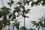Keel-billed Toucan (Ramphastos sulfuratus) [colombia_2297]