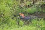 Social flycatcher bathing
