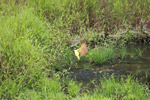 Social flycatcher bathing [colombia_2417]