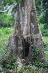 Rainforest tree stump [colombia_2439]