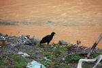 Black vulture [colombia_2488]