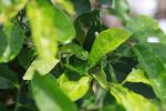 Juvenile green iguana (Iguana iguana) [colombia_2499]