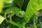 Juvenile green iguana (Iguana iguana) [colombia_2501]
