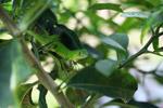 Juvenile green iguana (Iguana iguana) [colombia_2513]