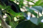 Juvenile green iguana (Iguana iguana) [colombia_2515]