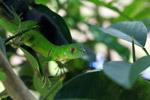 Juvenile green iguana (Iguana iguana) [colombia_2517]