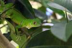 Juvenile green iguana (Iguana iguana) [colombia_2519]