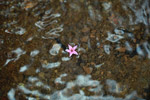 Pink flower floating in a puddle