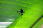Black and yellow weevil [colombia_2544]