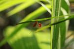 Flag-footed bug (Anisocelis flavolineata)
