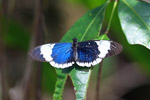 Blue, yellow, and black butterfly