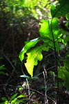Rainforest shrub illuminated by sunlight