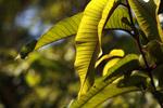 Rainforest leaf illuminated by sunlight