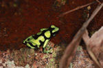 Green and Black Poison Dart Frog (Dendrobates auratus) in Colombia