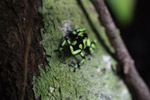 Green and Black Poison Dart Frog (Dendrobates auratus) in the rainforest canopy [colombia_2783]